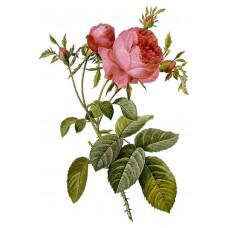 Rose Centifolia Absolute